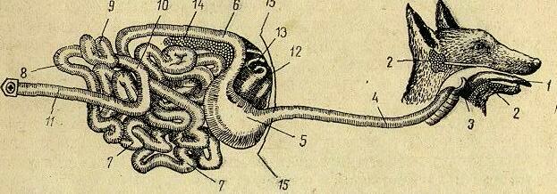 Схема органов пищеварения